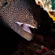 Whitemouth Moray Eel Art Print