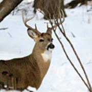 Whitetail Buck Profile Art Print