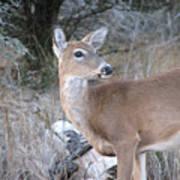 Whitetail Deer Art Print