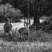 Whitetailed Deers Art Print