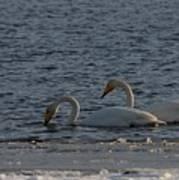 Whooper Swan Nr 2 Art Print