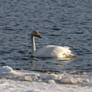 Whooper Swan Nr 3 Art Print