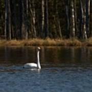 Whooper Swan Of Liesilampi 3 Art Print