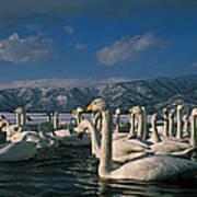 Whooper Swans In Winter Art Print