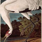 Whooping Crane Art Print by John James Audubon