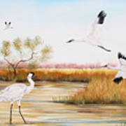 Whooping Cranes-jp3151 Art Print