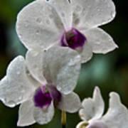 Whte Orchids Art Print