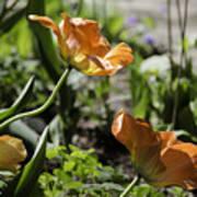 Wide Open Tulips Art Print