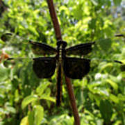 Widow Skimmer Dragonfly Female Art Print