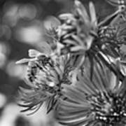 Wild Aster And Honey Bee Bw Art Print