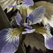 Wild Blue Iris Art Print