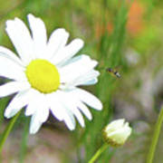 Wild Daisy With Visitor Art Print