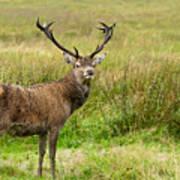 Wild Deer Animals   Art Print