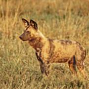Wild Dog Of Botswana Art Print