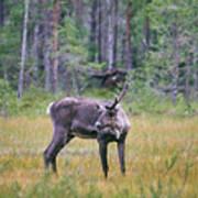 Wild Finnish Forest Reindeer 24 Art Print