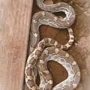 Wild Friendly Gopher Snake Art Print