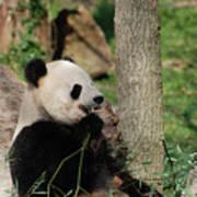 Wild Giant Panda Bear Eating Bamboo Shoots Art Print