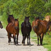 Wild Horses Of Corolla Art Print