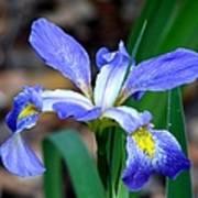 Wild Iris 3 Art Print