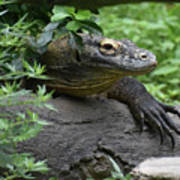 Wild Komodo Dragon Crawling Through Nature Art Print