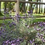 Wild Lavender Art Print