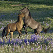 Wild Mustangs Playing 2 Art Print
