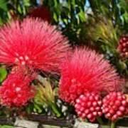 Wild, Red Fluffy Flowers  Art Print
