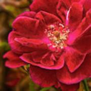 Wild Rose As Oil Art Print