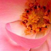 Wild Rose Bowl  Art Print