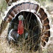 Wild Turkey Art Print