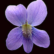 Wild Violet On Black Art Print