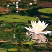 Wild Water Lilly Art Print