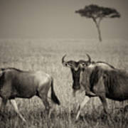 Wildebeest 8947b Art Print
