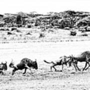 Wildebeest On The Move Art Print