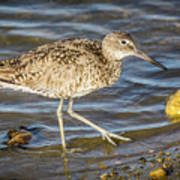 Willet Feeding In The Marsh 1 Art Print