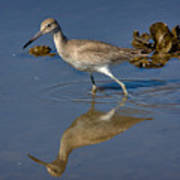 Willet Searching For Food In An Oyster Bed Art Print