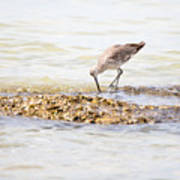 Willet Set 2 Of 4 By Darrell Hutto Art Print