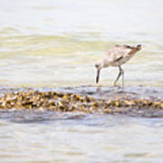 Willet Set 3 Of 4 By Darrell Hutto Art Print