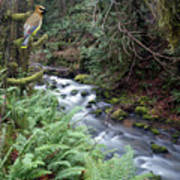 Wilson Creek #14 With Added Cedar Waxwing Art Print