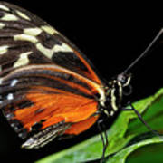 Wing Texture Of Eueides Isabella Longwing Butterfly On A Leaf Ag Art Print