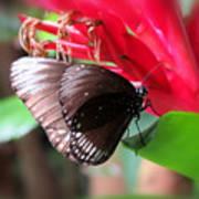 Wings Of Brown - Butterfly Art Print