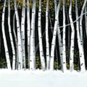 Winter Aspens II Art Print