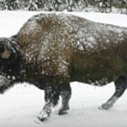 Winter Buffalo Art Print