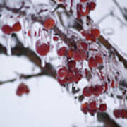 Winter Ice Berries Art Print