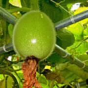 Winter Melon In Garden 2 Art Print
