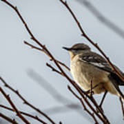 Winter Mockingbird Art Print