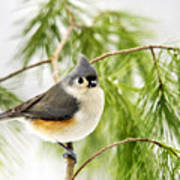Winter Pine Bird Art Print