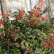 Winter Red Berries Art Print