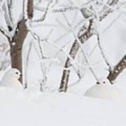 Winter Whites Art Print