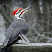 Winter Woodpecker Art Print